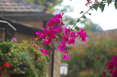 Bouganvillia in Jerusalem