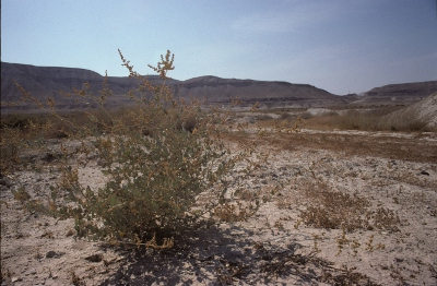 plants in the Aravah wilderness.