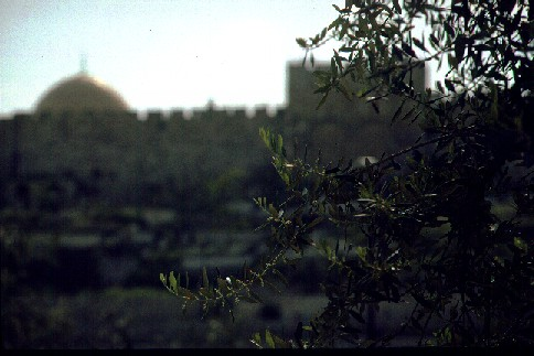 Olive branches in Jerusalem   (c)